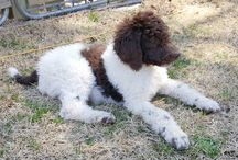 Our Poodles @ Winterberry Kennels / The standard poodles we breed for sale.