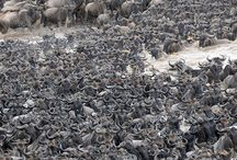 Serengeti National Park / The largest national park in Tanzania! The Serengeti National Park is over 14000sq Kilometers! Call Authentic African Safaris for the best safari adventure!