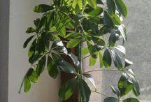 rostliny - Schefflera
