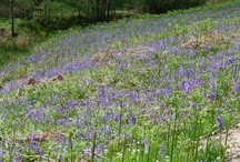 Bluebell Woods, Perthshire / by Gilmore House Bed & Breakfast