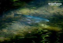 ニジマス[rainbow trout] / 然別湖に生息するワイルドなニジマス。