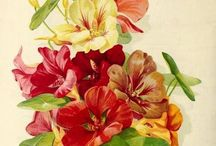 Seed catalog illustrations / Illustrations from seed and plant catalogs from the late 19th century and early 20th century. / by Swallowtail Garden Seeds