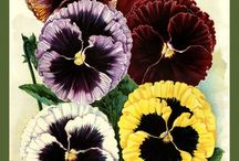 Pansies / The flower with a smiling face