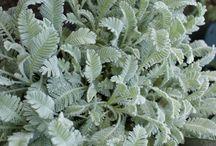 silver plants