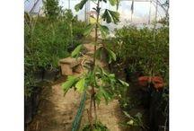 Ginkgo Biloba - Sanatate Din Plante / Ginkgo Biloba trees available for sale