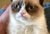Grumpy Cat /  This is the coolest cat on the planet! Sarcastic Cat at its best! I couldn't stop myself. These make me laugh!