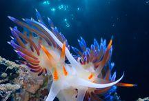 Meeres-Nacktschnecken