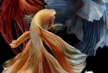 Koi + Fancy Tails