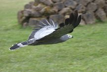 Bird of Prey Displays / Join us from Easter to September for our Bird of Prey displays at Banham Zoo. Giving you opportunity to learn more and get that little bit closer! One of the biggest displays in the uk!