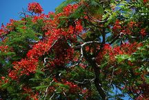 South Florida Blooming Trees / The beauty of trees is heightened when they flower - often with blooms not found growing from plants. These trees and their blossoms are found in South Florida and photographed by Steve Hoffacker.