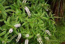 NZ Native plants / Native plants for garden design and revegetation