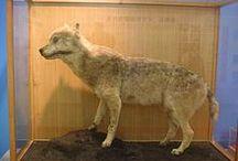 Wolf # Okami