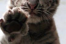 Mláďatá tigra