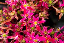 Shrubs & Perennials - ground cover / Very low growing shrubs and perennials, under 2ft, grown for colour, in flower beds, borders, rockeries
