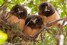 northern saw-whet owl of Alberta