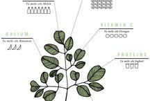 Moringa Fakten / Wissenswertes über Moringa