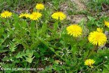 Plants medicinales