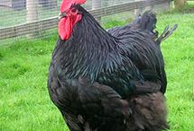 All things CHICKENS / Backyard chickens for eggs and as pets / by Amy Welch