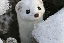 Weasel - Lasička