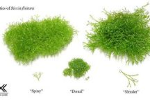 aquascape moss / species and variant of aquascape