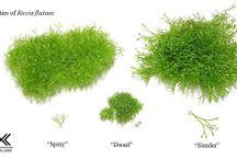 aquascape moss / species and variant of aquascape