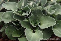 Hostas / Different varieties of Hosta and wonderful Hosta nurseries.