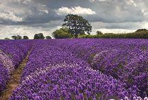 071 - Lavanda/Lavender