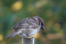 sparrow スズメ