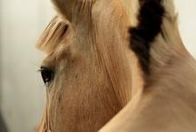 Fjording / hest