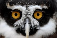 Owlishness / I really had no idea how freakishly cool Owls were! / by Linda McHardy