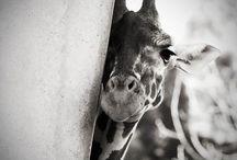 giraffa <3