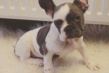 Troela onze nieuwe Franse bulldog