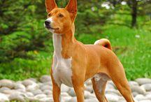 Basenji / Basenji dog