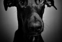 Animal Kingdom - Dogs