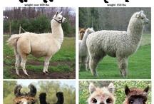 alpaca/lama