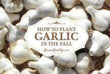 Grown Garlic in fall