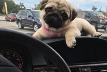 Pug Mopsy