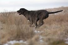 Broholmer - mine hunde