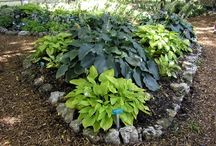 Hostas / There are over 4,000 varieties of Hosta's and they are beautiful especially for shade gardens.  They have come out with some that can handle part sun, part shade, thank goodness and they come back every year! What is great is that every couple of years you have to thin them out and end up with more to plant throughout your yard or gardens.