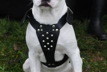 Dogs of Fame by www.Staffs-Exclusives.com / Beautifull dogs proudly wear Staffs Exclusives!  www.Staffs-Exclusives.com  Top Quality 4 Top Dogs!