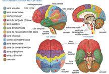le cerveau et ses fonctions