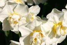 Our Favorite Daffodil Bulbs