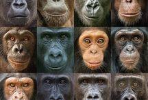 Monkey ...  Apes