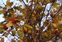 hawthorn berries, боярышник