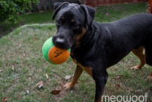 udie / our woof: a happy-go-licky rottie cross