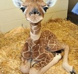 Giraffes / by Joanna Corrigan