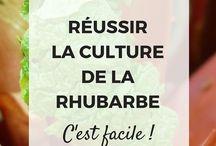 culture de la rhubarbe