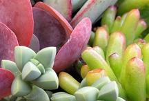 suculentas & cactus