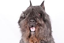 Bouvier des Flandres / Large sized rugged and compact, Bouvier des Flandres are from a time and place where a dog had to work like … well, a dog. Standing as high as 27.5 inches, with heavy bone and powerful muscles beneath a weatherproof coat, Bouviers were bred to do anything that needs doing in a barnyard or pasture except milk the cows. Yet, Bouvier des Flandres are more than just farm equipment. Their sterling character, huge heart, and keen intelligence have endeared them to dog lovers all over the world over.