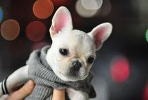 French bulldog pics